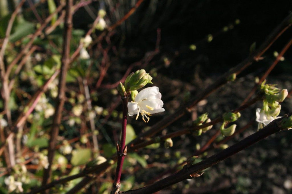 lonicera-purpusii-winter-beauty